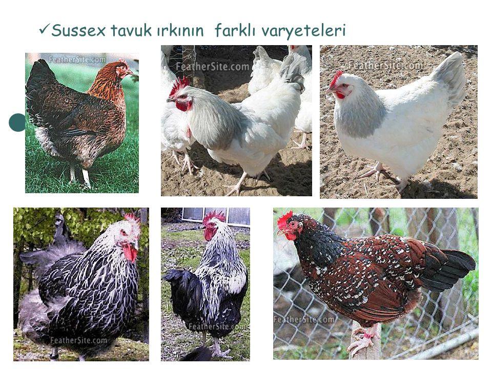 Sussex tavuk ırkının farklı varyeteleri