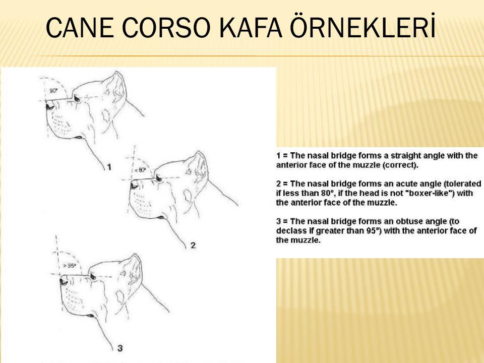 CANE CORSO KAFA ÖRNEKLERİ