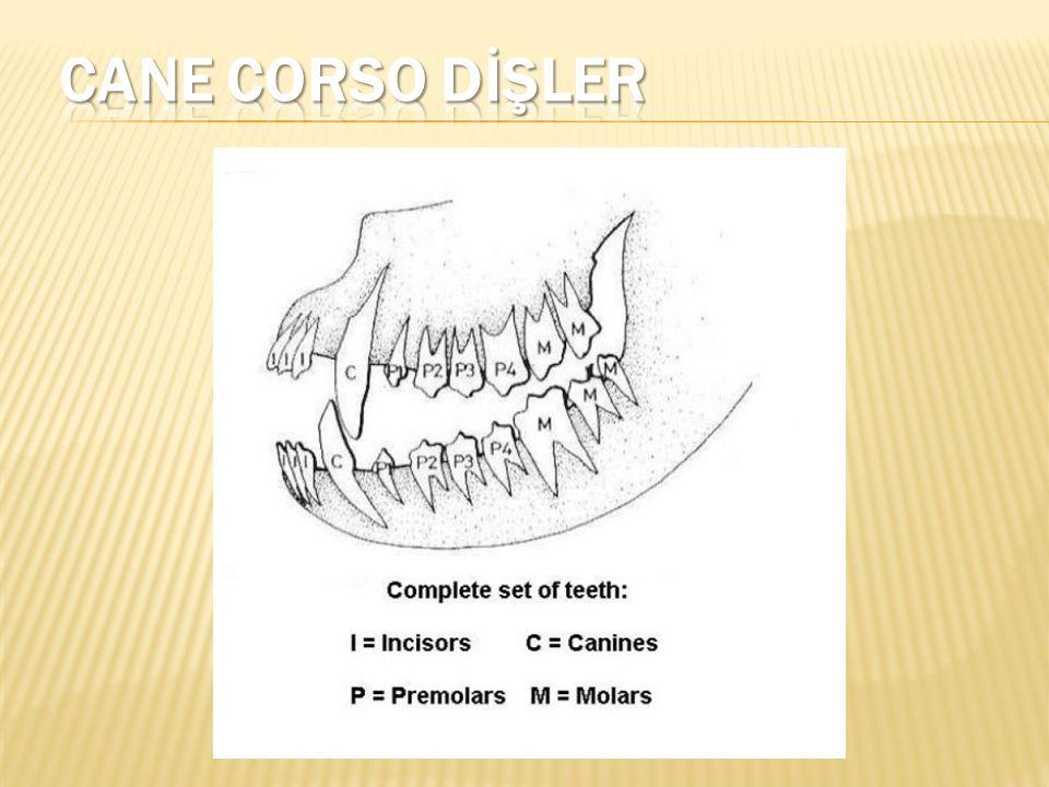 CANE CORSO DİŞLER