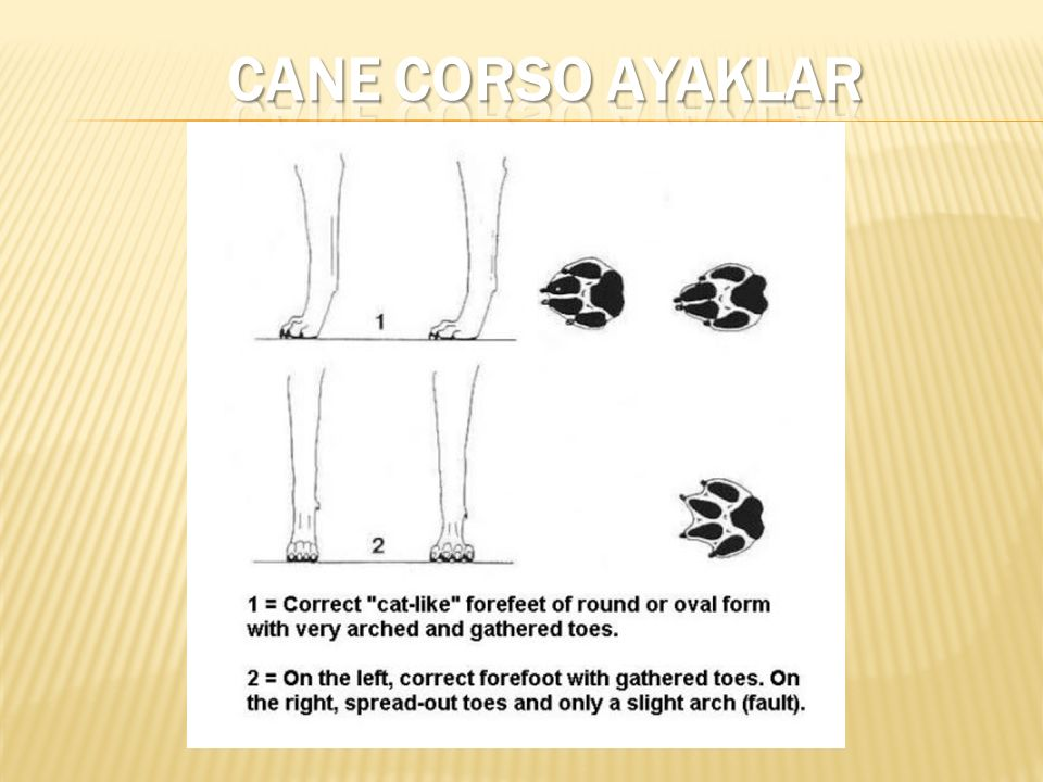 CANE CORSO AYAKLAR