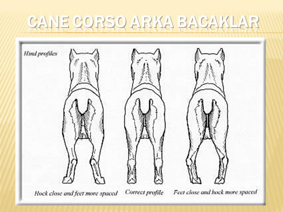 CANE CORSO ARKA BACAKLAR