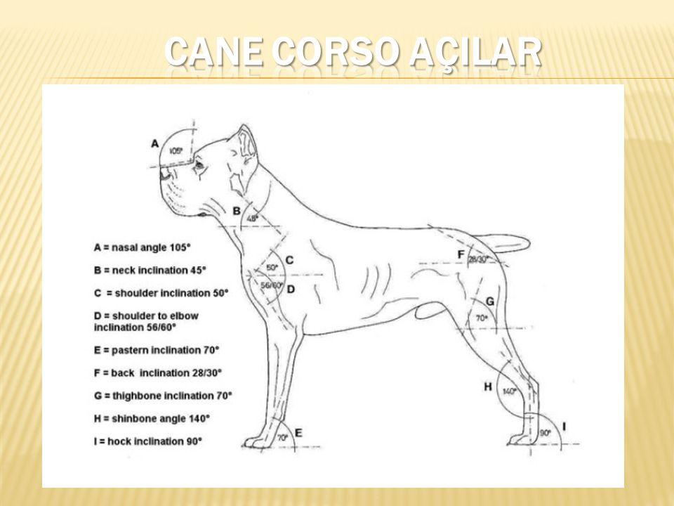 CANE CORSO AÇILAR