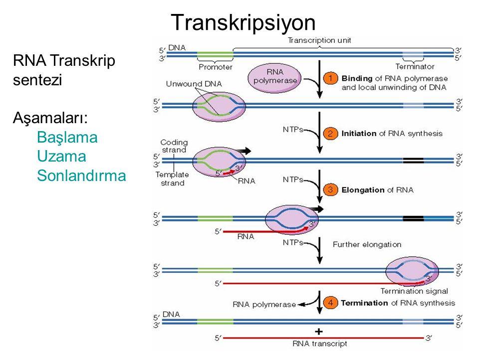 Transkripsiyon RNA Transkrip sentezi Aşamaları: Başlama Uzama