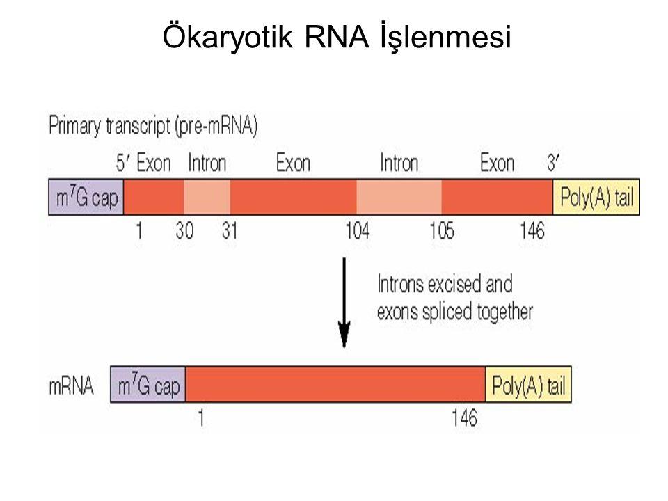 Ökaryotik RNA İşlenmesi