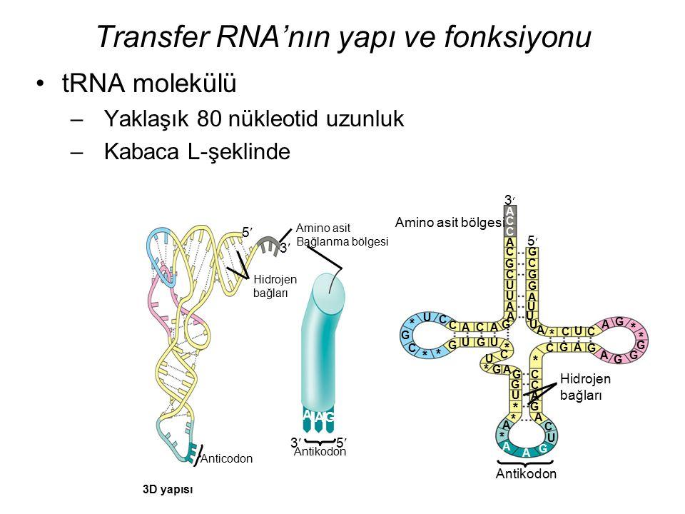 Transfer RNA'nın yapı ve fonksiyonu
