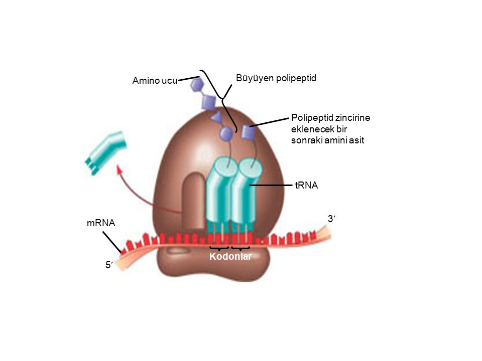 Amino ucu Büyüyen polipeptid. Polipeptid zincirine. eklenecek bir. sonraki amini asit. tRNA. mRNA.