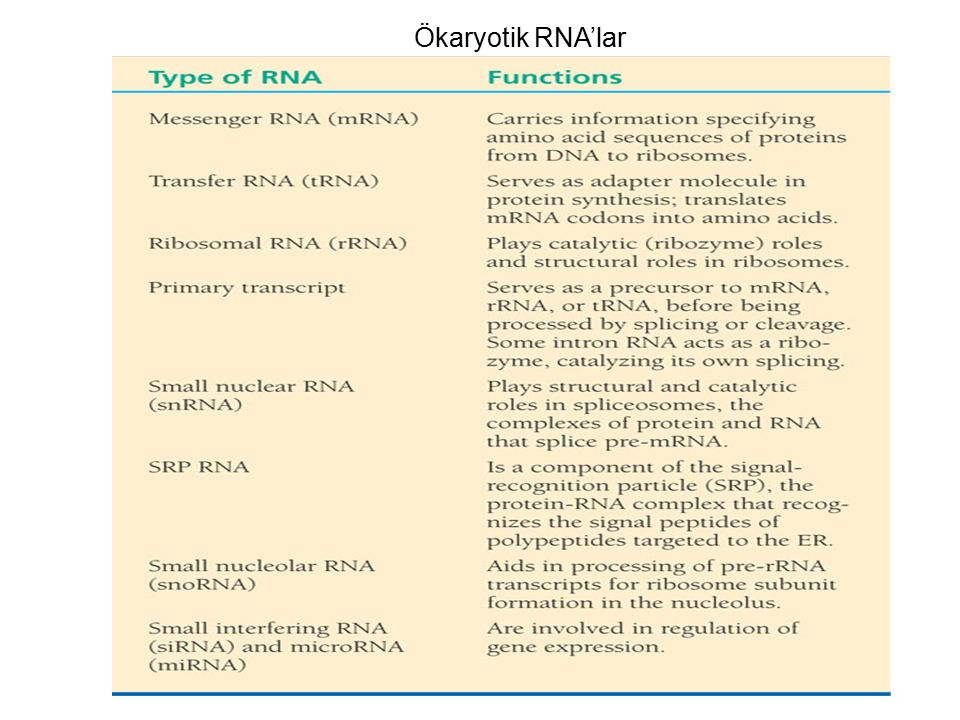 Ökaryotik RNA'lar