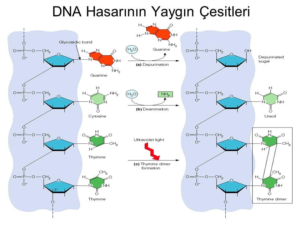 DNA Hasarının Yaygın Çesitleri