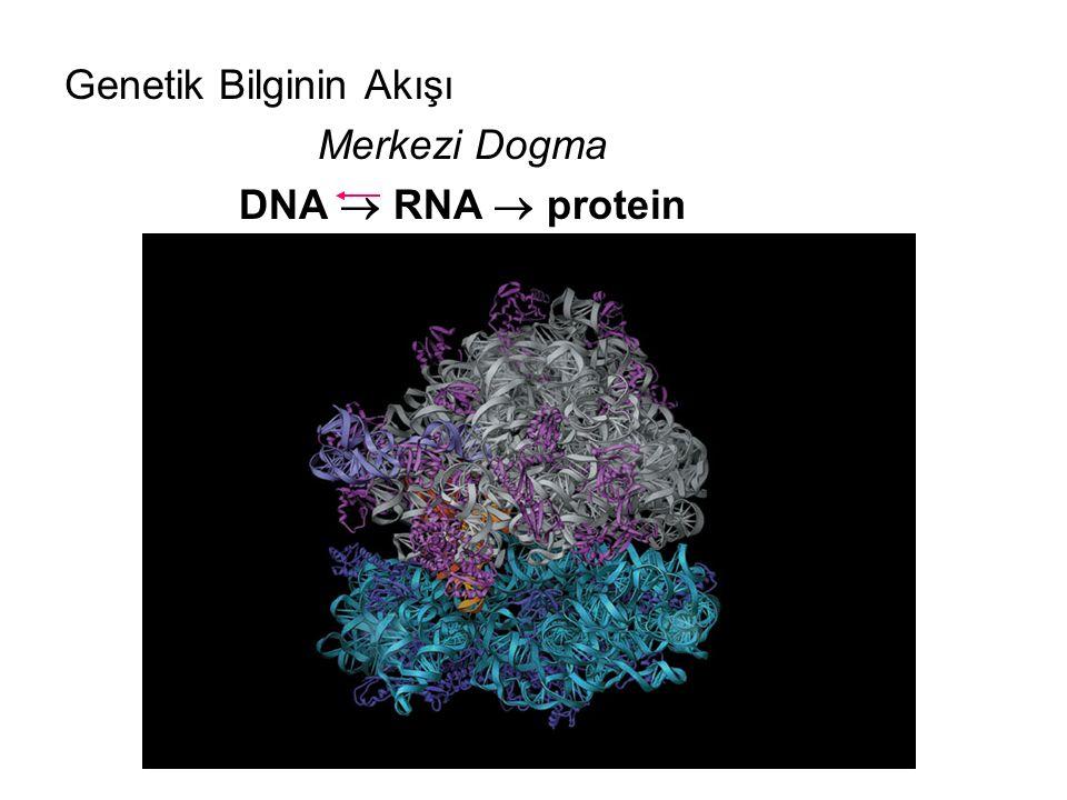 Genetik Bilginin Akışı