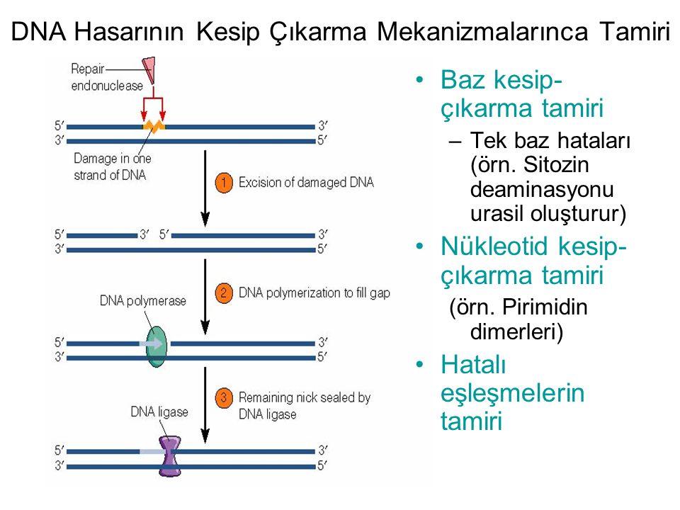 DNA Hasarının Kesip Çıkarma Mekanizmalarınca Tamiri
