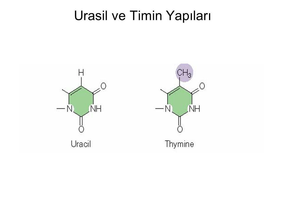 Urasil ve Timin Yapıları