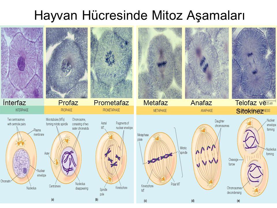 Hayvan Hücresinde Mitoz Aşamaları