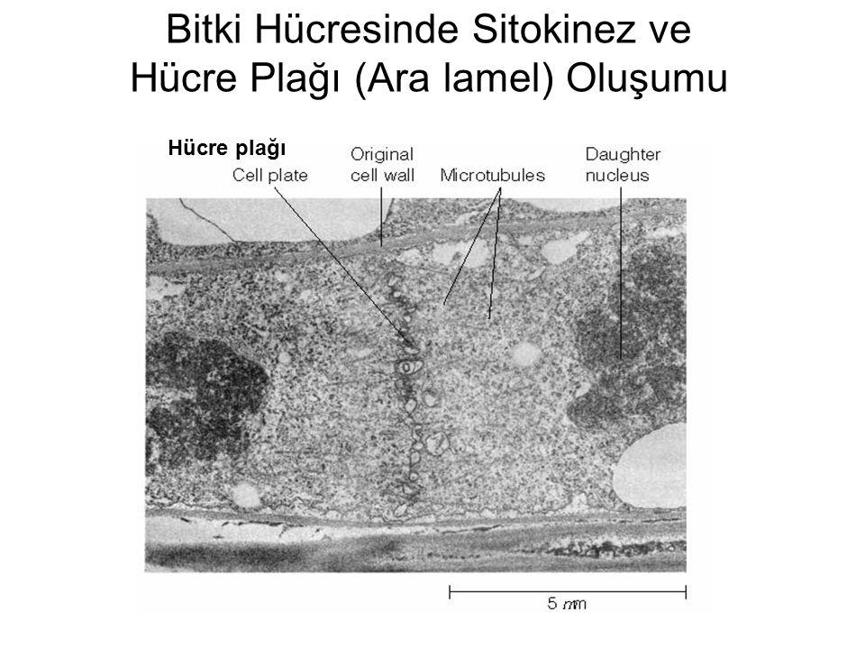 Bitki Hücresinde Sitokinez ve Hücre Plağı (Ara lamel) Oluşumu