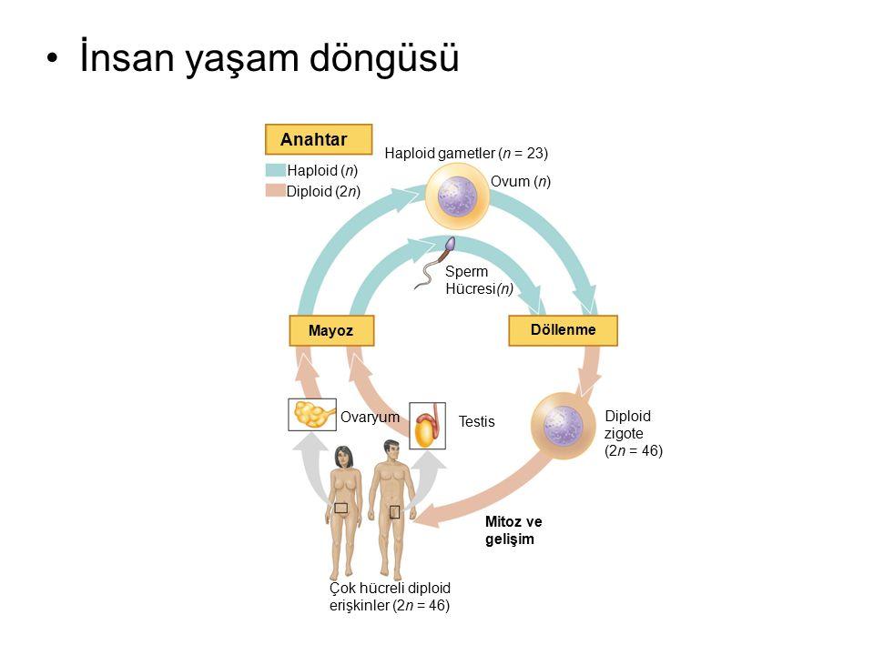 İnsan yaşam döngüsü Anahtar Haploid (n) Diploid (2n)