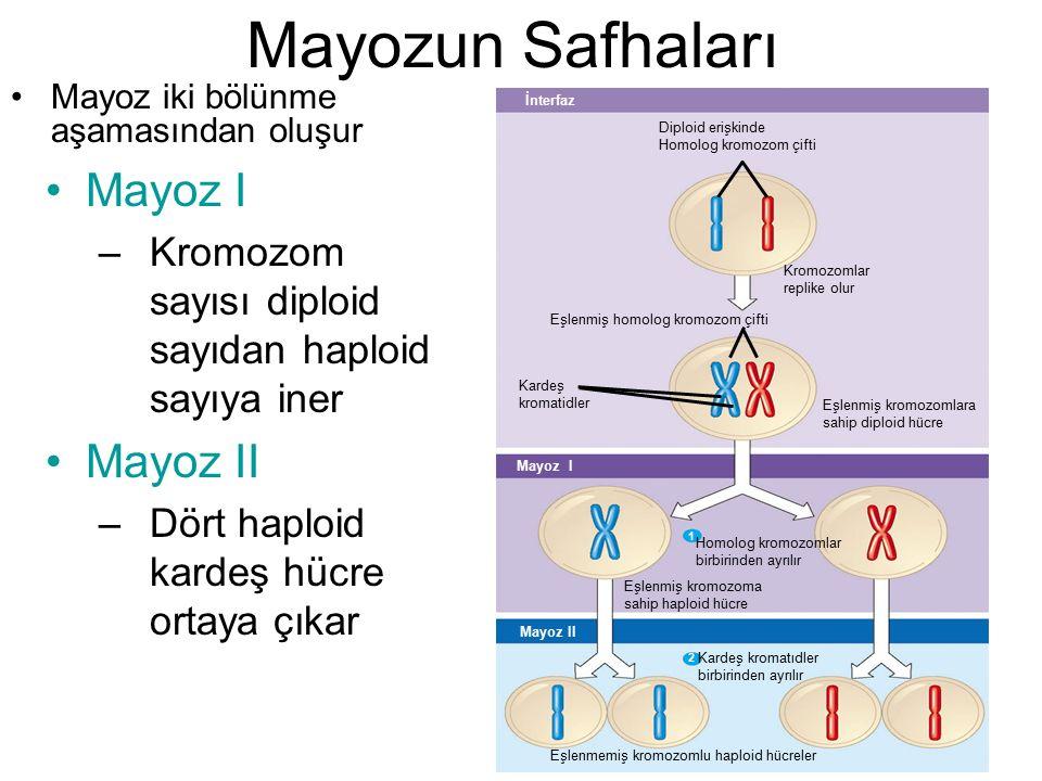 Mayozun Safhaları Mayoz I Mayoz II