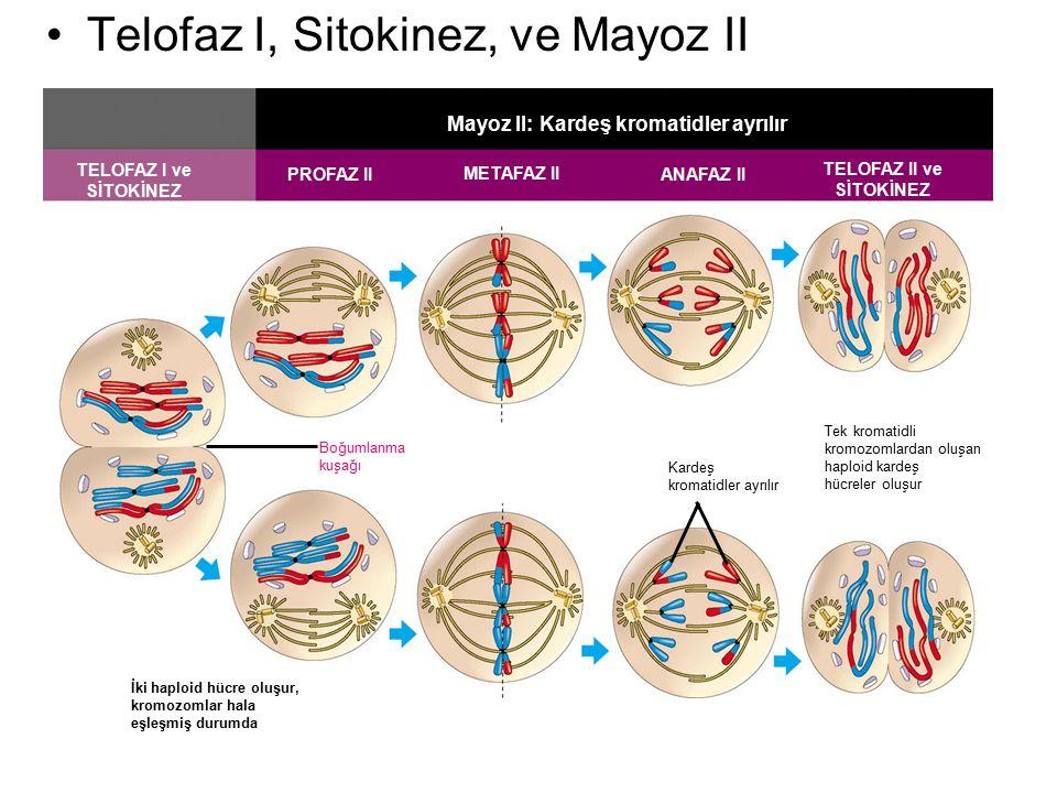 Mayoz II: Kardeş kromatidler ayrılır