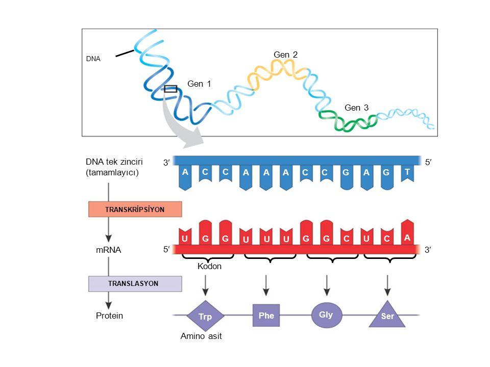 Gen 1 Gen 2 Gen 3 DNA tek zinciri (tamamlayıcı) mRNA Protein