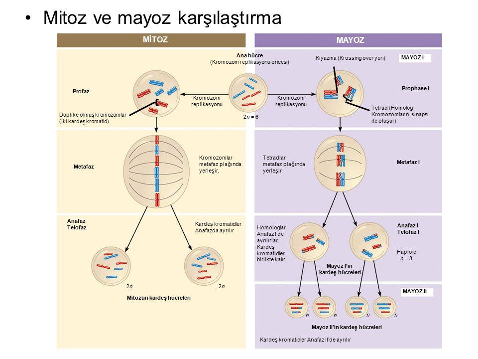 Mayoz II'in kardeş hücreleri Mitozun kardeş hücreleri