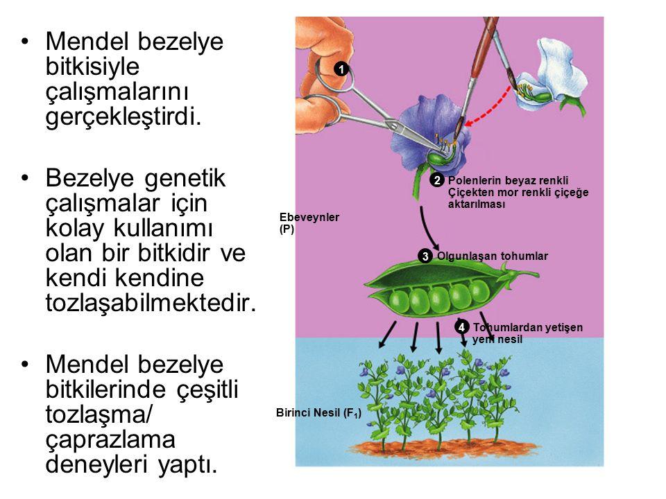 Mendel bezelye bitkisiyle çalışmalarını gerçekleştirdi.