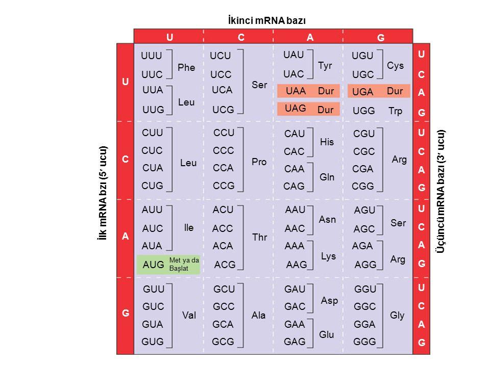Üçüncü mRNA bazı (3 ucu)