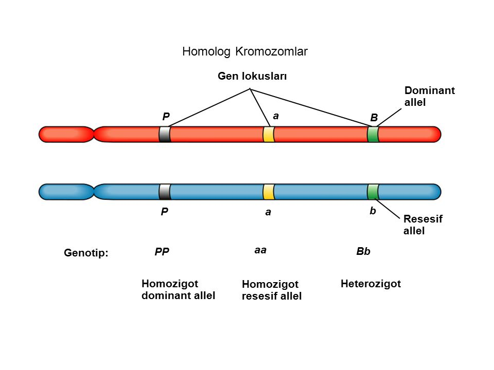 Homolog Kromozomlar Gen lokusları Dominant allel P a B P a b Resesif