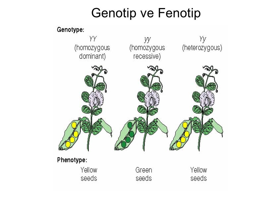 Genotip ve Fenotip