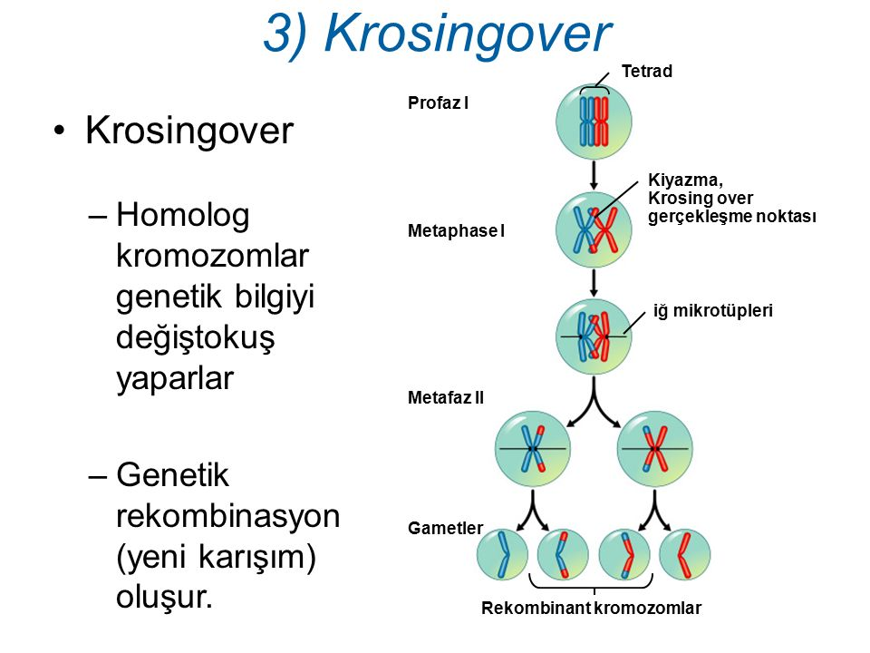 Rekombinant kromozomlar