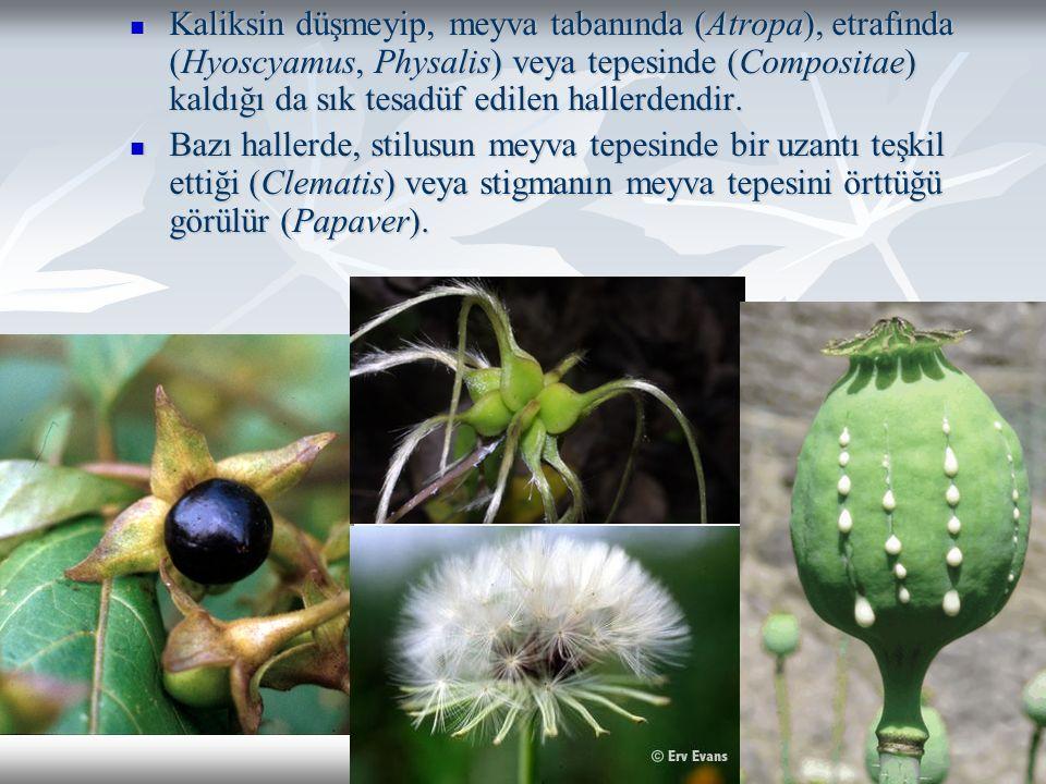 Kaliksin düşmeyip, meyva tabanında (Atropa), etrafında (Hyoscyamus, Physalis) veya tepesinde (Compositae) kaldığı da sık tesadüf edilen hallerdendir.