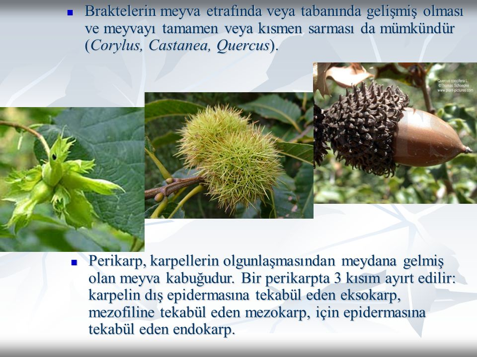 Braktelerin meyva etrafında veya tabanında gelişmiş olması ve meyvayı tamamen veya kısmen sarması da mümkündür (Corylus, Castanea, Quercus).