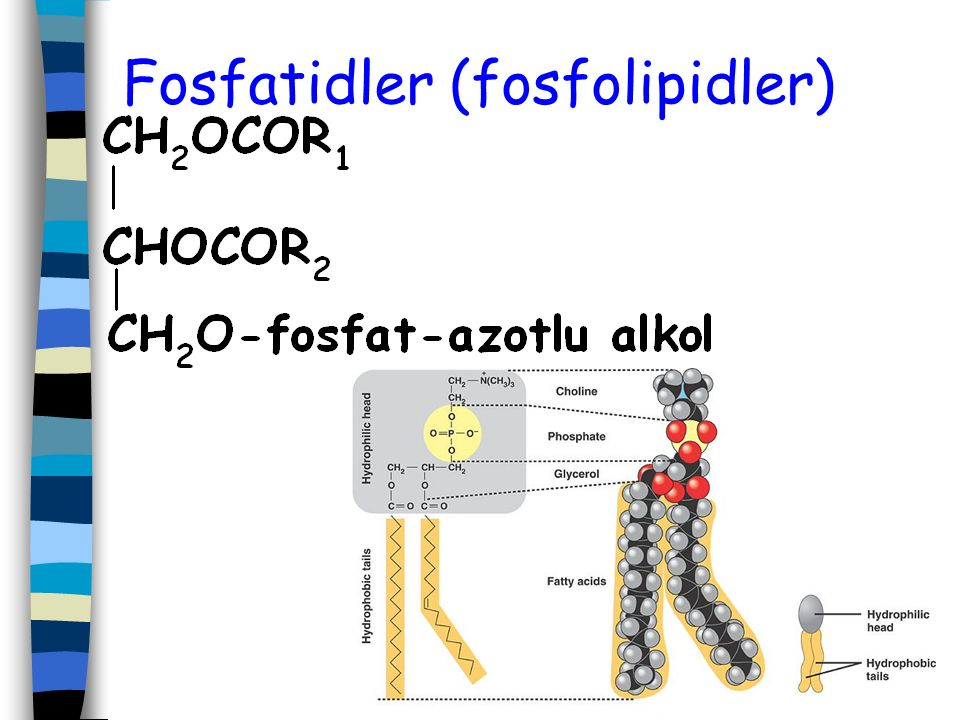 Fosfatidler (fosfolipidler)
