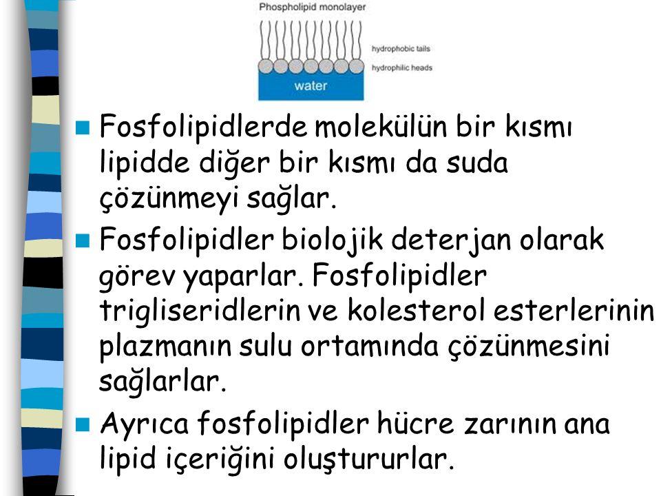 Fosfolipidlerde molekülün bir kısmı lipidde diğer bir kısmı da suda çözünmeyi sağlar.
