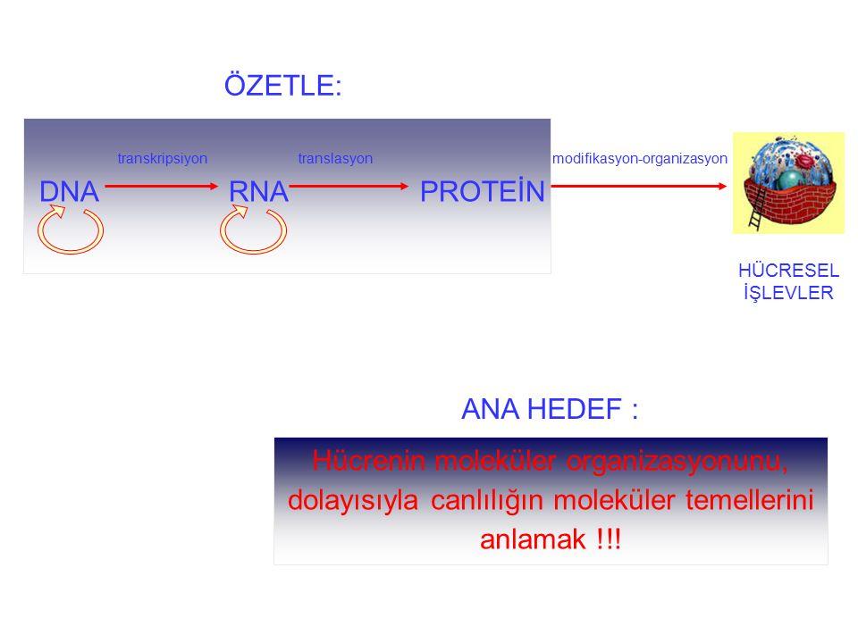 transkripsiyon translasyon modifikasyon-organizasyon DNA RNA PROTEİN