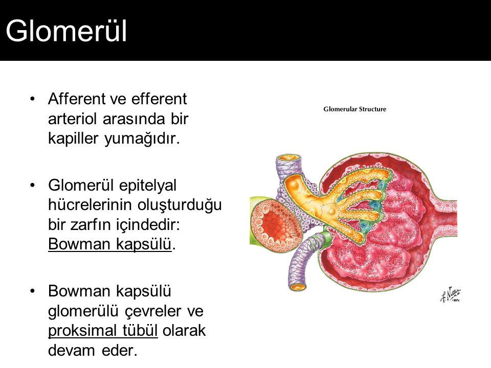Glomerül Afferent ve efferent arteriol arasında bir kapiller yumağıdır.