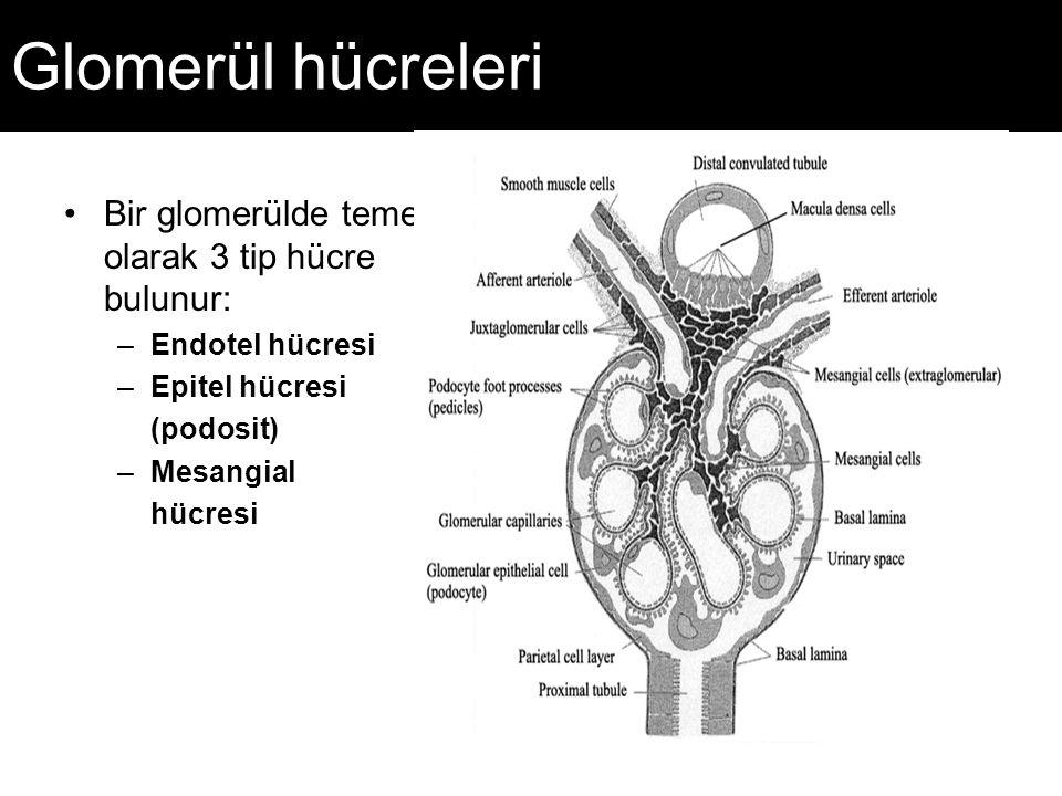 Glomerül hücreleri Bir glomerülde temel olarak 3 tip hücre bulunur: