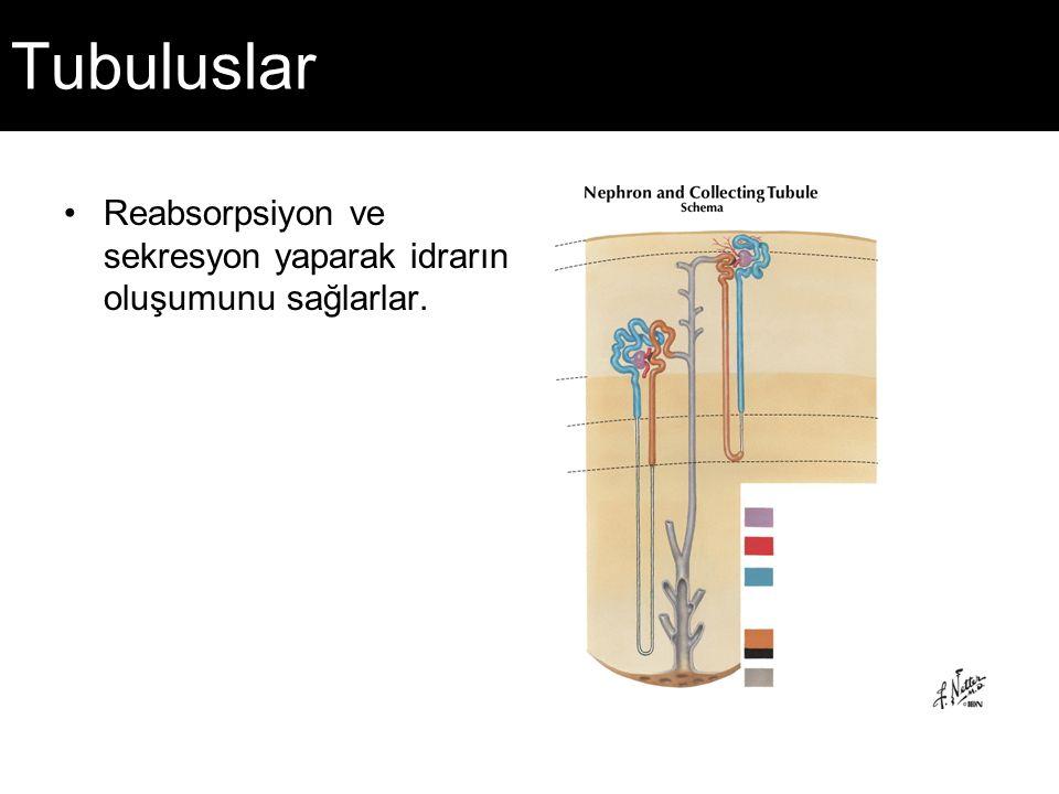 Tubuluslar Reabsorpsiyon ve sekresyon yaparak idrarın oluşumunu sağlarlar.