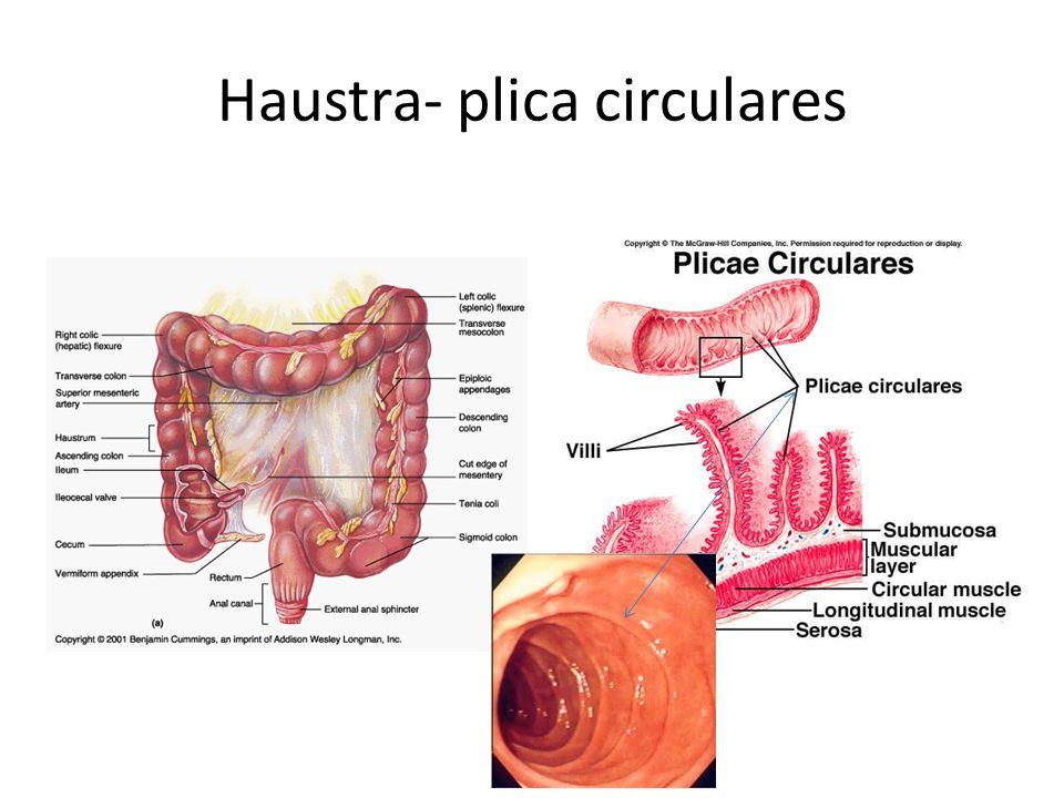 Haustra- plica circulares