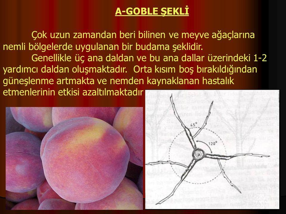 A-GOBLE ŞEKLİ Çok uzun zamandan beri bilinen ve meyve ağaçlarına nemli bölgelerde uygulanan bir budama şeklidir.