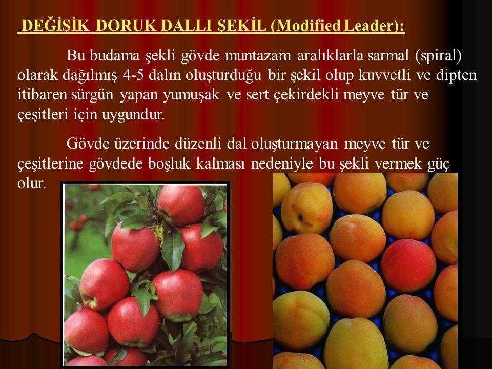 DEĞİŞİK DORUK DALLI ŞEKİL (Modified Leader):