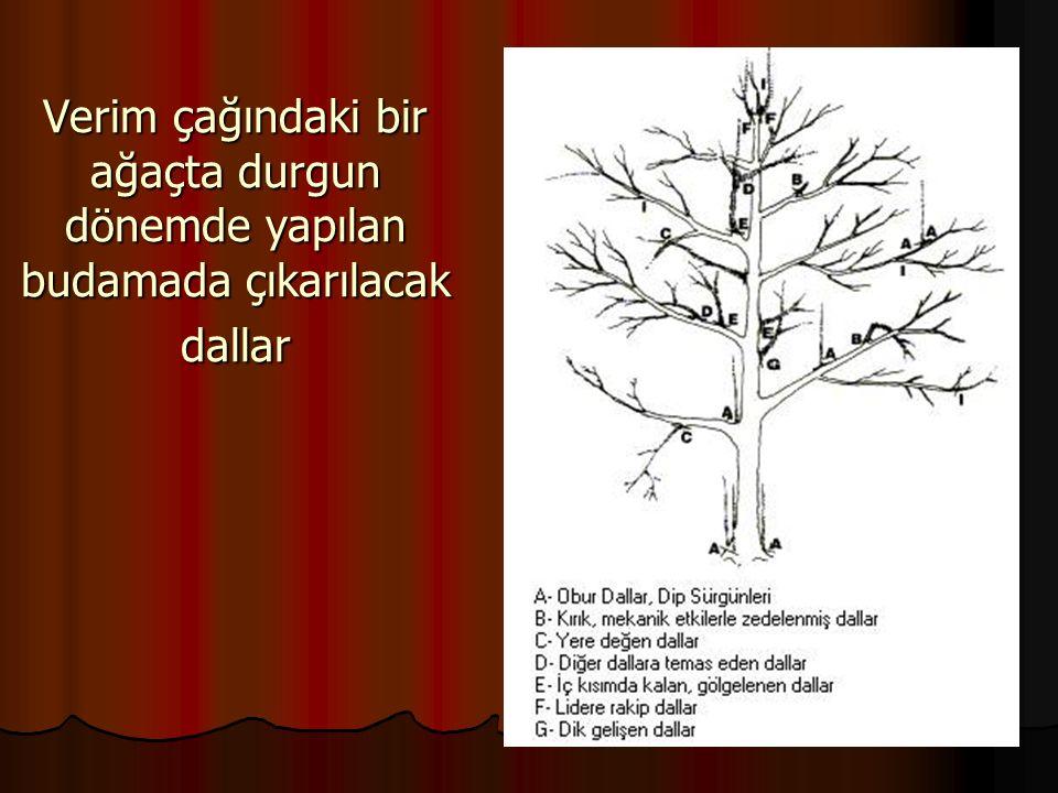 Verim çağındaki bir ağaçta durgun dönemde yapılan budamada çıkarılacak dallar