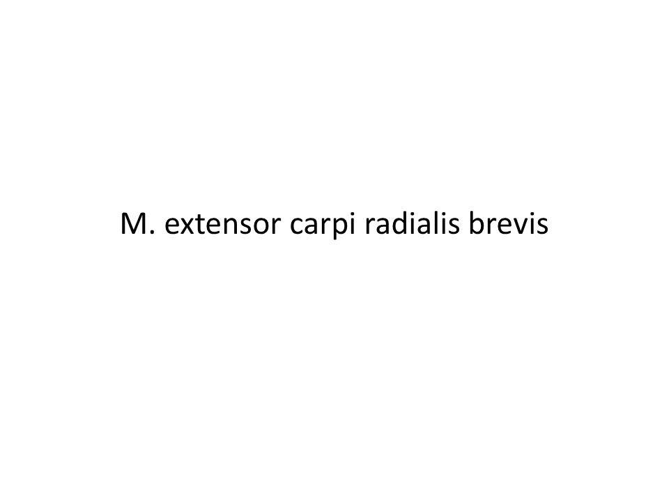 M. extensor carpi radialis brevis