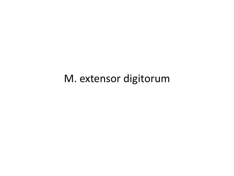 M. extensor digitorum