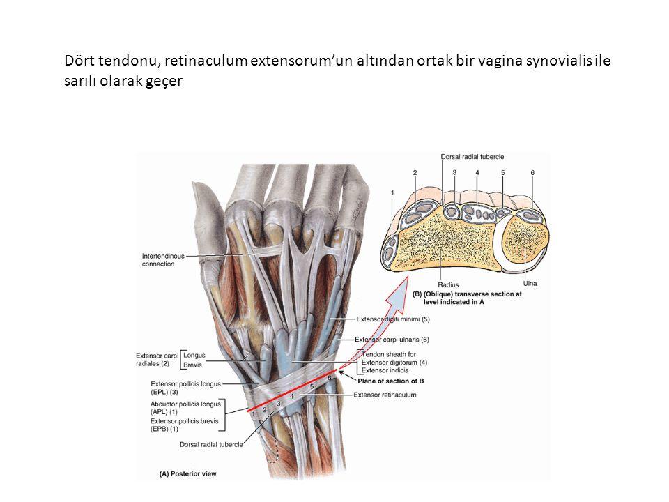 Dört tendonu, retinaculum extensorum'un altından ortak bir vagina synovialis ile sarılı olarak geçer