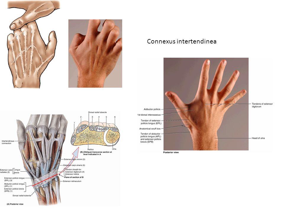 Connexus intertendinea