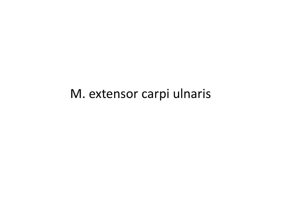 M. extensor carpi ulnaris