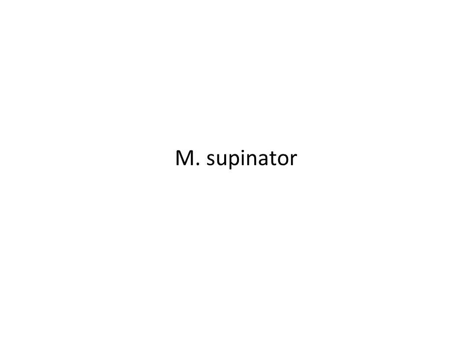 M. supinator
