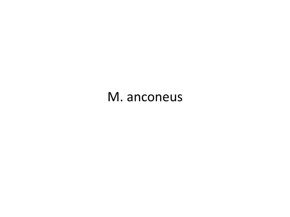 M. anconeus