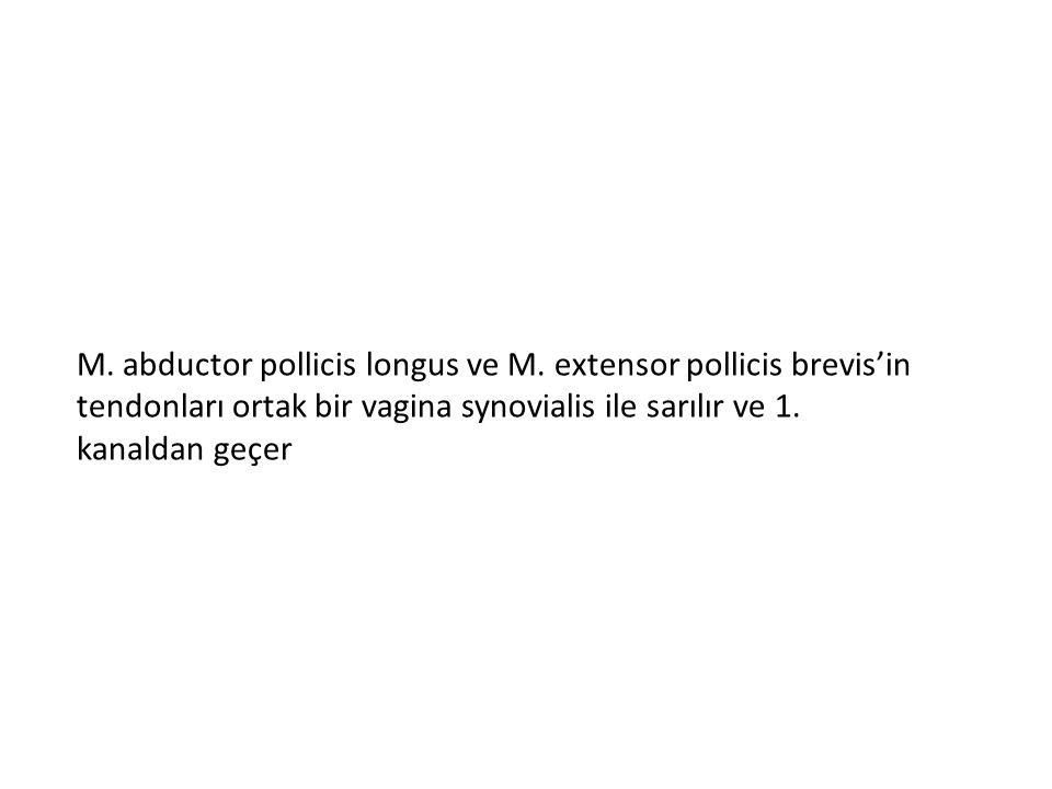 M. abductor pollicis longus ve M