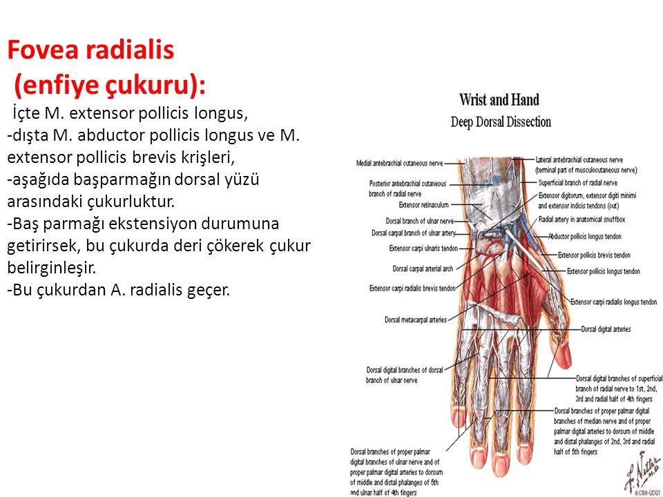 Fovea radialis (enfiye çukuru): -İçte M. extensor pollicis longus,