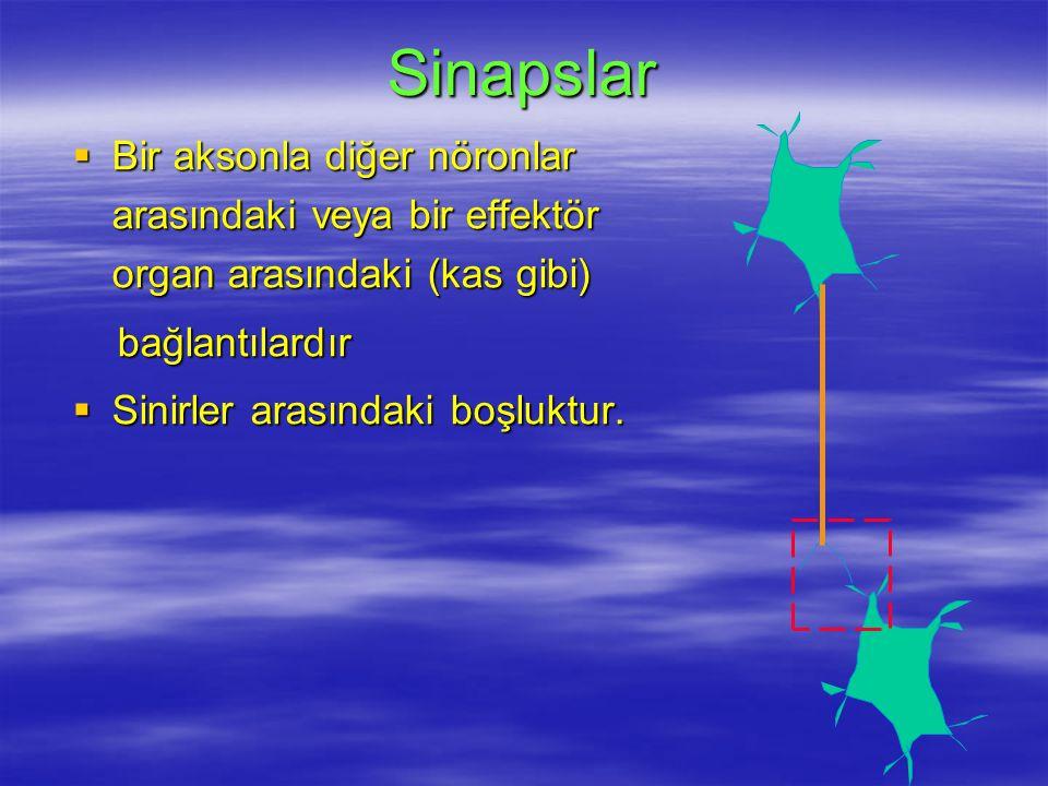 Sinapslar Bir aksonla diğer nöronlar arasındaki veya bir effektör organ arasındaki (kas gibi) bağlantılardır.