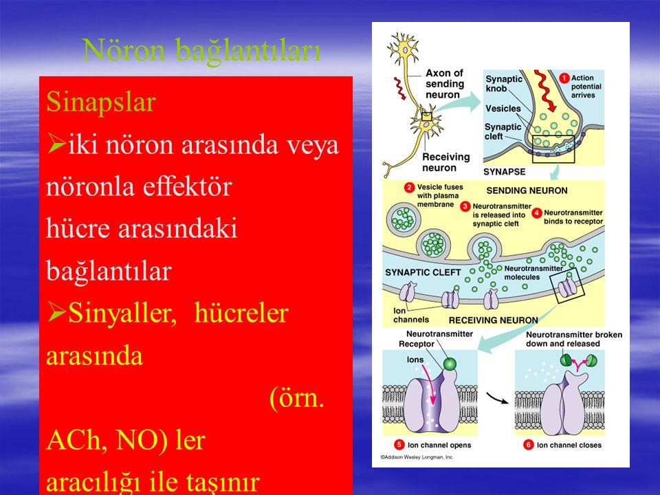 Nöron bağlantıları Sinapslar iki nöron arasında veya nöronla effektör